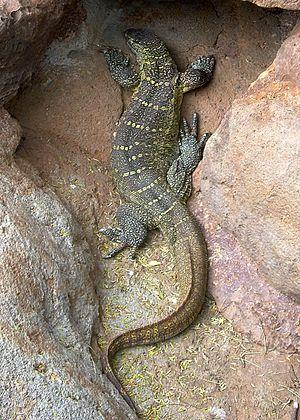 Nile monitor lizard from the Waikiki Zoo