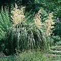Nolina longifolia HRM.jpg