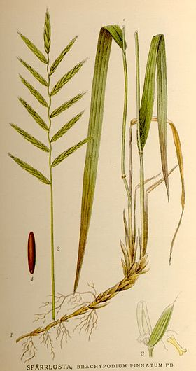 Bakke-Stilkaks (Brachypodium pinnatumm)Illustration fra Nordens Flora