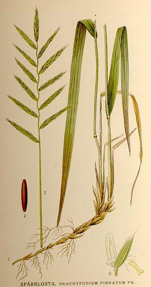 Brachypodium pinnatum - Image: Nordens flora Brachypodium pinnatum
