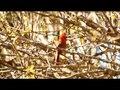 File:Northern cardinal (Cardinalis cardinalis) calling.webm