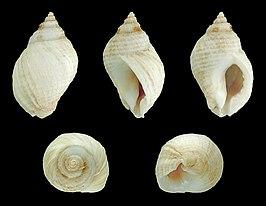 Dog whelk  Wikipedia