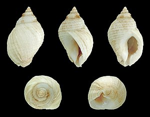Dog whelk - Five views of a white shell of Nucella lapillus