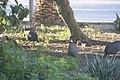Numida meleagris damarensis - Pintade de Numibie 02.jpg