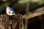 Nuthatch - Lackford Lakes (24691328635).jpg