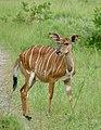 Nyala (Tragelaphus angasii) female ... (50090262161).jpg