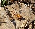 Nymph of Calliptamus barbarus - Flickr - gailhampshire (1).jpg