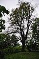 Oak near old church.jpg