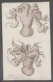 Octopus cirrhosus - - Print - Iconographia Zoologica - Special Collections University of Amsterdam - UBAINV0274 090 02 0005.tif