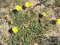 Oenothera drummondii