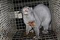 Oikeutta eläimille - Fur farming in Finland 05.jpg