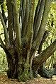 Old Tilia platyphyllos at Devínska Kobyla.jpg