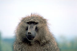 Olive baboon.jpg