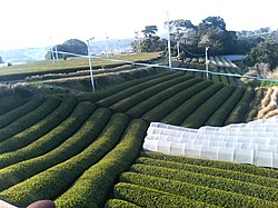 Omaezaki green tea fields.JPG