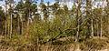 Ontwortelde berk (Betula) komt in blad. Locatie, Kroondomein.jpg