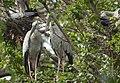 Open billed Parent on the nest (2 ).jpg