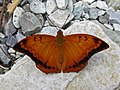 Open wing position of Charaxes marmax Westwood, 1847 – Yellow Rajah (Male) 2.jpg
