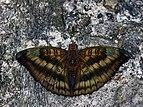 Open wing position of Male Euthalia alpheda Godart, 1824 – Streaked Baron.jpg