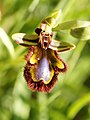 Ophrys speculum (inflorescence).jpg