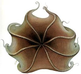 Opisthoteuthis extensa