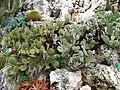 Opuntia microdasys albispina.jpg