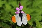 Orange tip (Anthocharis cardamines) male.jpg