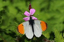 Orange tip (Anthocharis cardamines) male.jpg