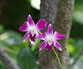 Orchidées - Maldives.jpg