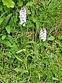 Orchidées Saint-Georges-Nigremont D32 près les Cantines (10).jpg