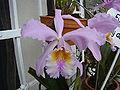 Orchidaceae Venezuela.JPG