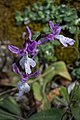 Orchis anatolica, Crete 03(js).jpg