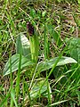 Orchis poupre Trélissac21-04-2010.JPG