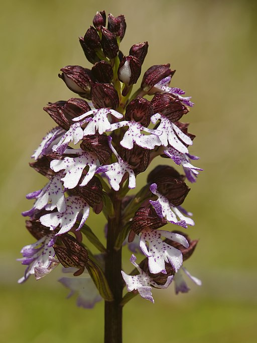 Orchis purpurea (flower spike)