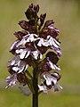 Orchis purpurea (flower spike).jpg