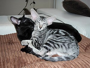 Oriental Shorthair - Orientals are a social breed