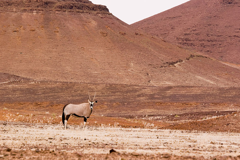 File:Oryx in the Goboboseberg Mountains (3690963419).jpg
