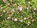 Osbeckia brachystemon-3-chemungi-kerala-India.jpg