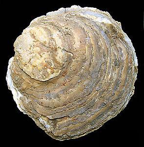Europäische Auster (Ostrea edulis), subfossil