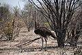 Ostrich near Moremi Game Reserve - Botswana - panoramio.jpg