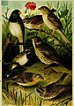 Our native birds of song and beauty, being a complete history of all the songbirds, flycatchers, hummingbirds, swifts, goatsuckers, woodpeckers, kingfishers, trogons, cuckoos, and parrots, of North (14565746918).jpg