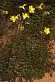 Oxalis pes-caprae 5Dsr 0628.jpg