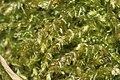 Oxyrrhynchium hians (a, 144650-480950) 3091.JPG