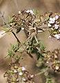 PN del Garraf - Araña 02 - Aranya - Spider (Pisaura mirabilis) (4515746435).jpg