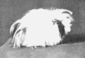 PSM V67 D210 Long haired rough pigmented guinea pig.png