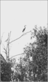 PSM V77 D378 A heron posing for its picture.png