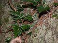 Pachypleuria repens kikusinobu.jpg