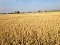 Paddy crop.jpg