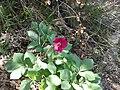 Paeonia mascula 2012-04-09 13.37.19.jpg