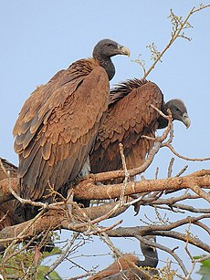 Pair of Indian vulture (Gyps indicus) Photograph by Shantanu Kuveskar.jpg