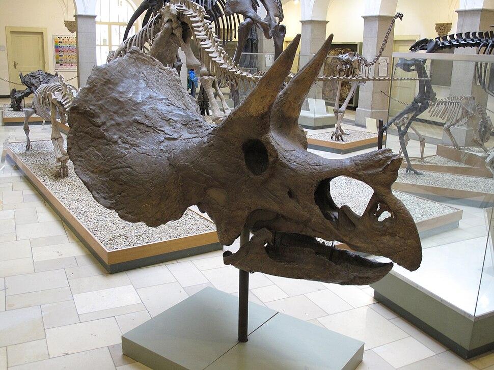 Paläontologisches Museum München Schädel eines Triceratops Dreihornsaurier